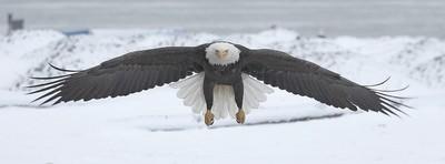 Bald Eagle Flying At Camera