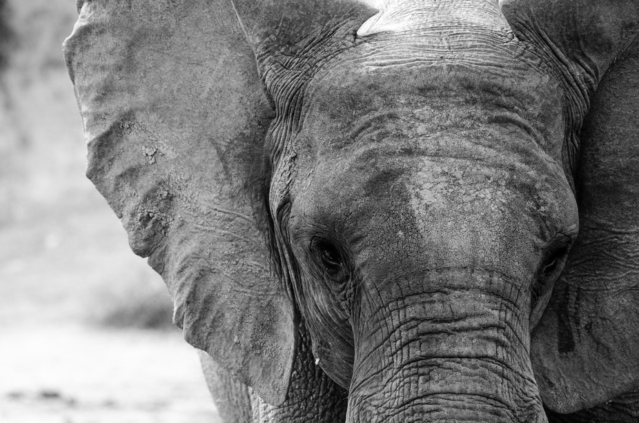 This Elephant slowly plods towards us on the edge of the Chobe River in Botswana.  it seems curio...
