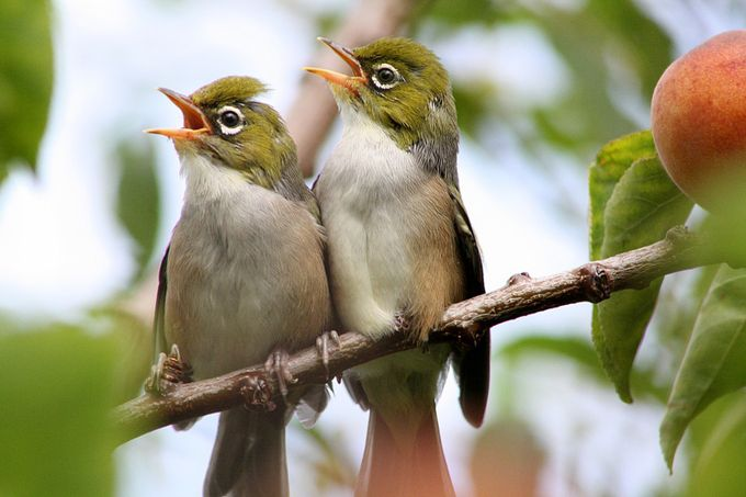 Silvereye .. Summer Fledglings (1) by phillecren - Small Things In Nature Photo Contest