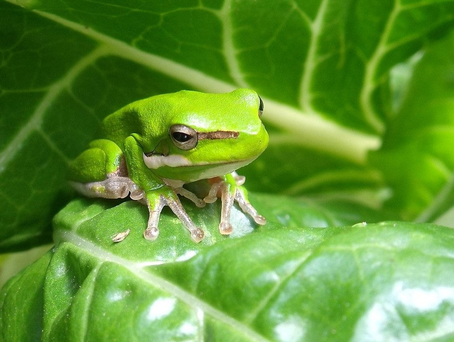 This tiny green  frog  I found sitting on a spinach leaf in the vegetable garden.
