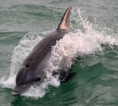 Bottlenose Dolfin
