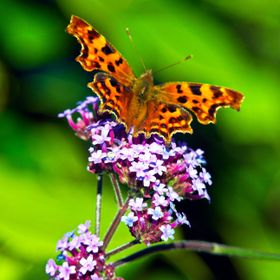 Saw this butterfly in the garden just had to capture it on the verbena