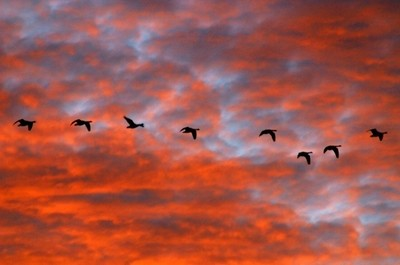 Heading South - Canadian Geese