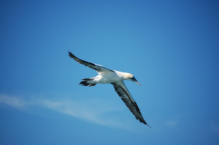 a gannet circles the bay in search for fish