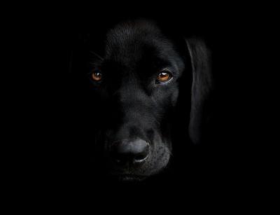 My black labrador