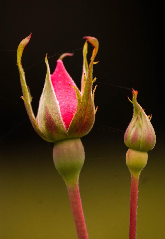 Rose-0037