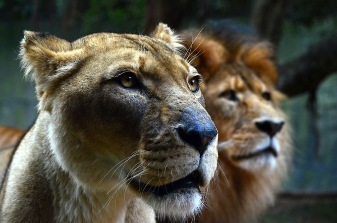 Lions at the zoo  by TheTravellingPhotographer - Depth In Nature Photo Contest