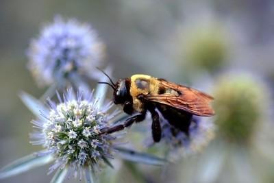 Big Fat Bumblebee