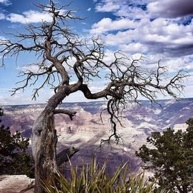 This long dead tree stands guard of the South Rim of the Grand Canyon.