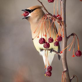 A cedar waxwing is getting drunk on winter fruits
