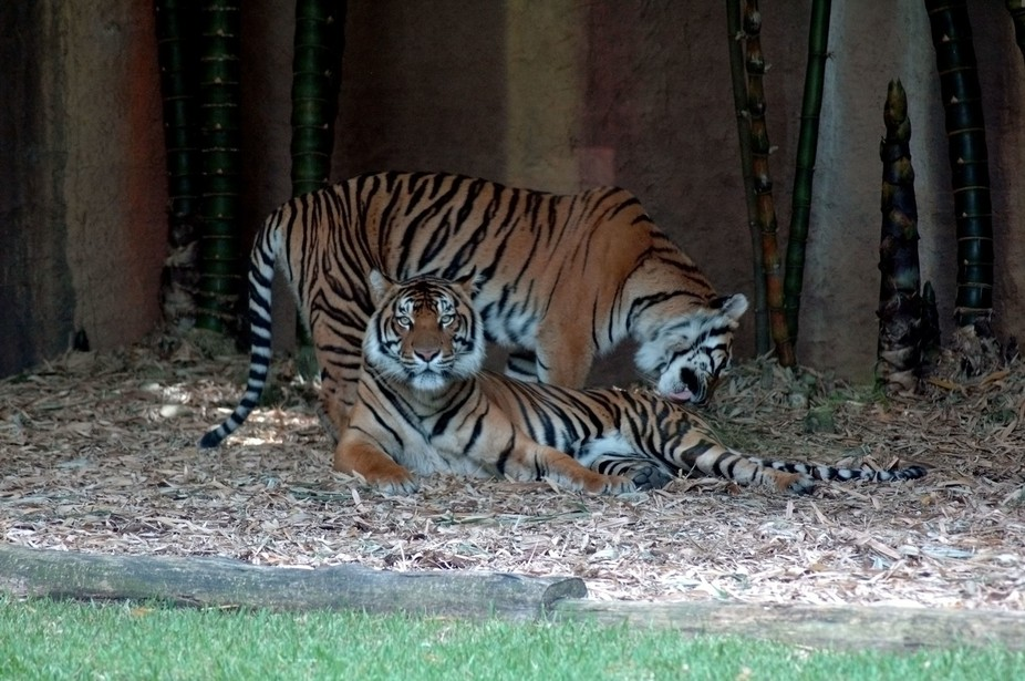 Two tigers resting in the shade of trees at the Australian Zoo during the heat of the day.