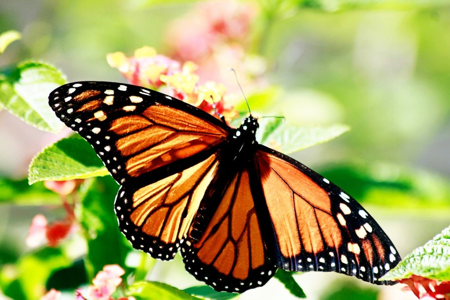 AWESOME beauty. My mom always loved butterflies. When I see these beautiful creatures, I always t...