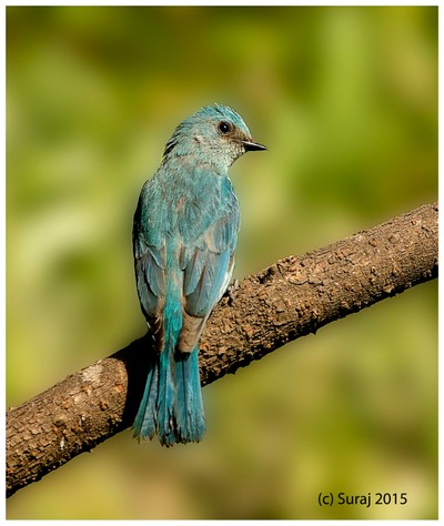 Veridiator flycatcher