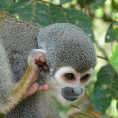 Squirrel Monkey Equador