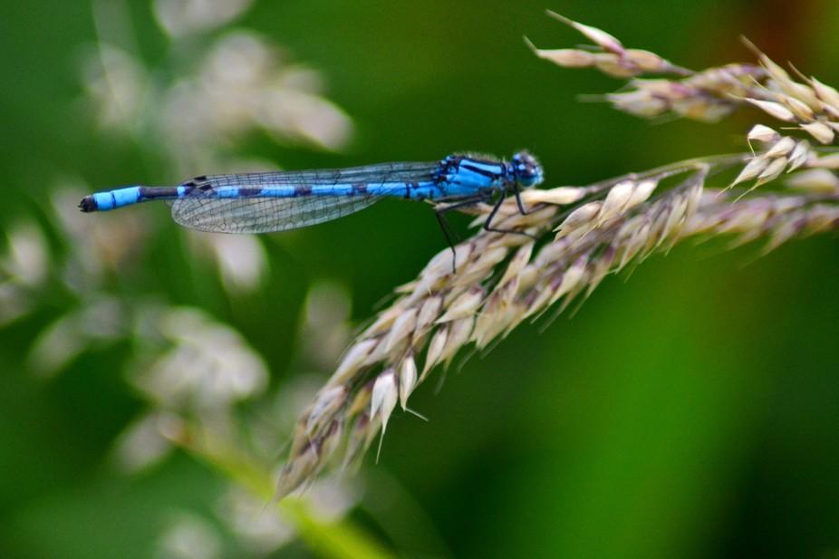 Damsel fly on wheat