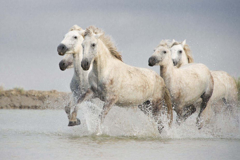 The white horses of the incredible Camargue region on Southern France.  The horses love galloping...