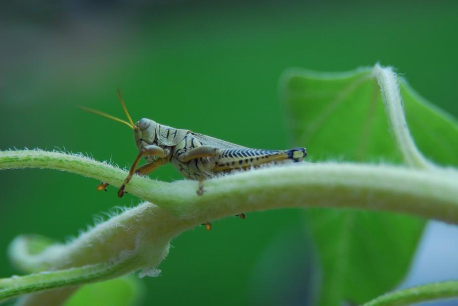 grasshopper,UMKC 028