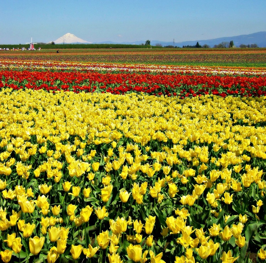 Beautiful Tulip Fields with Mt. Hood as the backdrop.