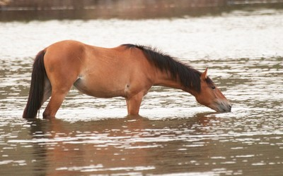 Horse drinking in the river