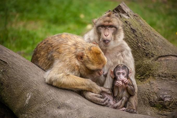 The Family Macaque. by antonybarbour - Wildlife Photo Contest 2017