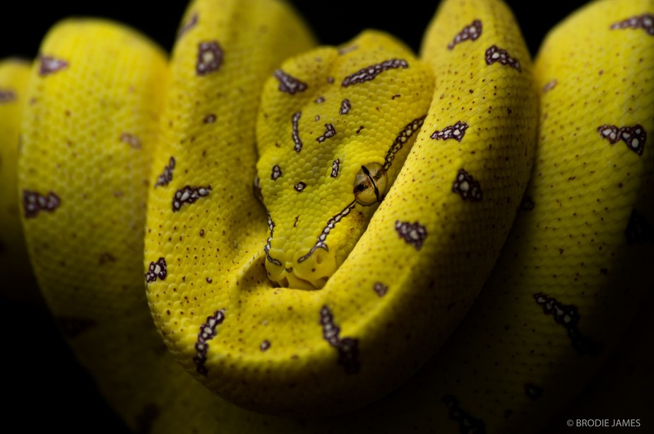 The Australian Green Tree Python ( Morelia Viridis) personally my favourite species of snake here...