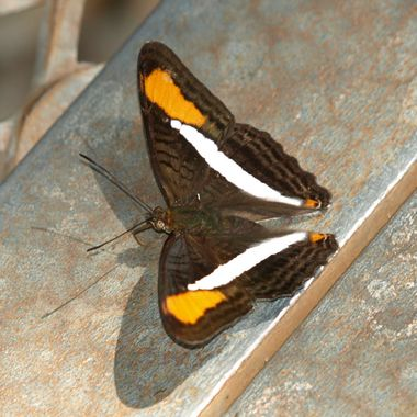 Spot-winged Sister