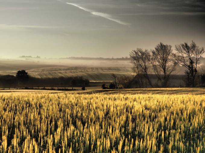 Fields of gold by JackieT - Rural Vistas Photo Contest