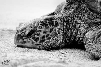 Blk and wht Turtle closeup