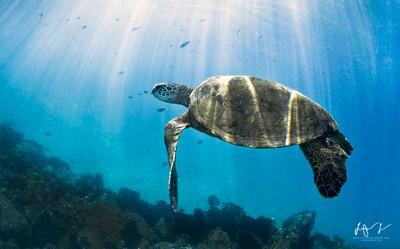 Green Sea Turtle Basking in the sun