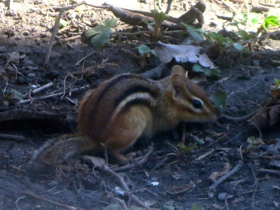 One of a pair of chipmunks who live under our front porch...