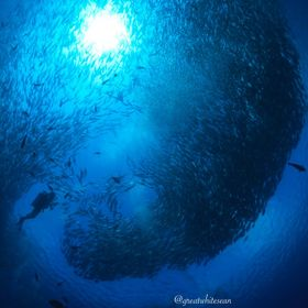 The resident school of jackfish surround a diver as he joins their school formation in Sipadan. This was the 2nd time we dived with this school a...