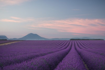 Lavender fild