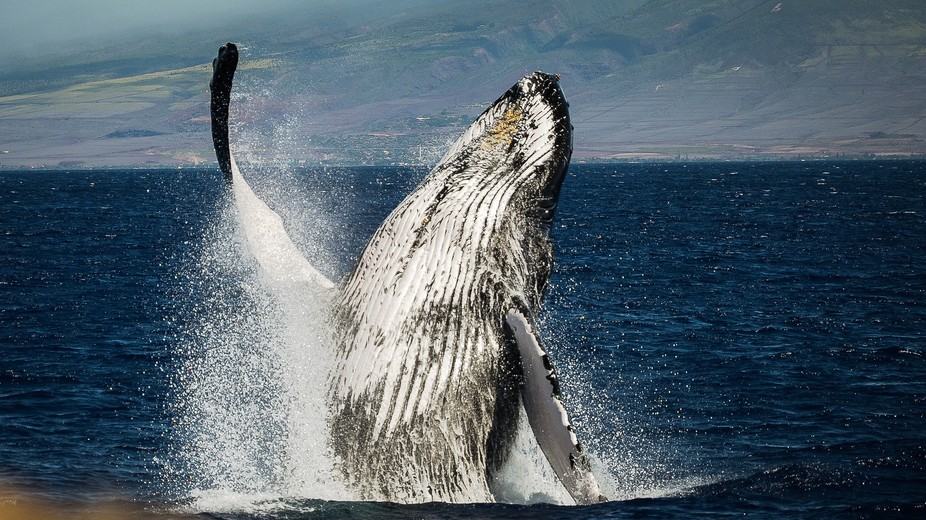 One of my best shots of the year! Caught this while sailing from Maui to Lanai. Lahaina harbor in...