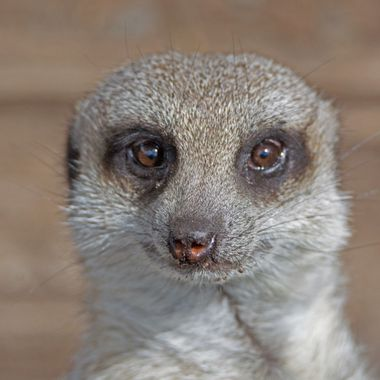 Dirty nosed Meerkat