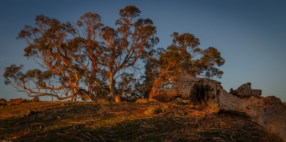 twisted gums showing off their vibrant colouring as the late evening sun casts a orange glow onto...
