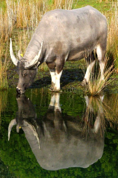 Water Buffalo And Reflection