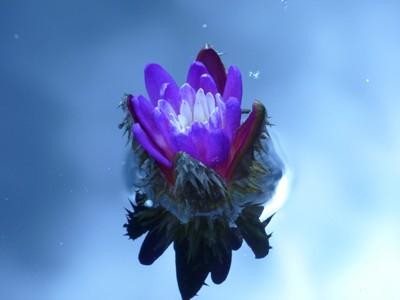 Tiny Blue Waterlily Macro Reflection