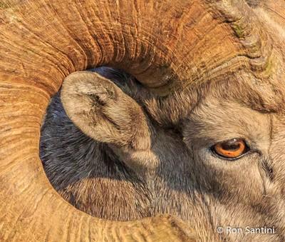 A Sheep's Eye
