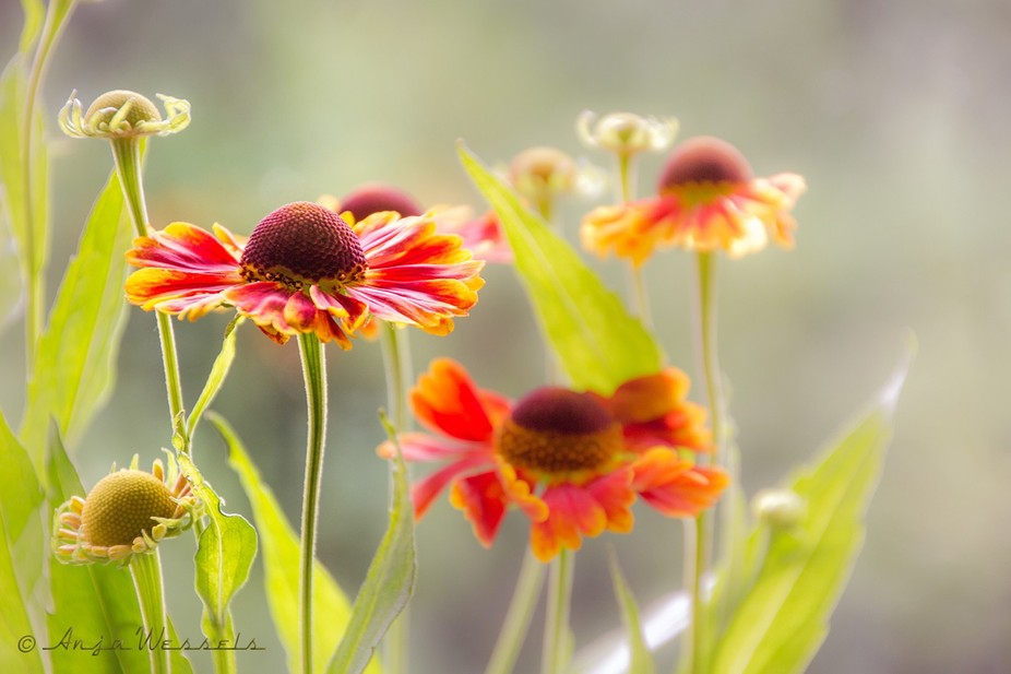 Sneezeweed in soft Summer light.