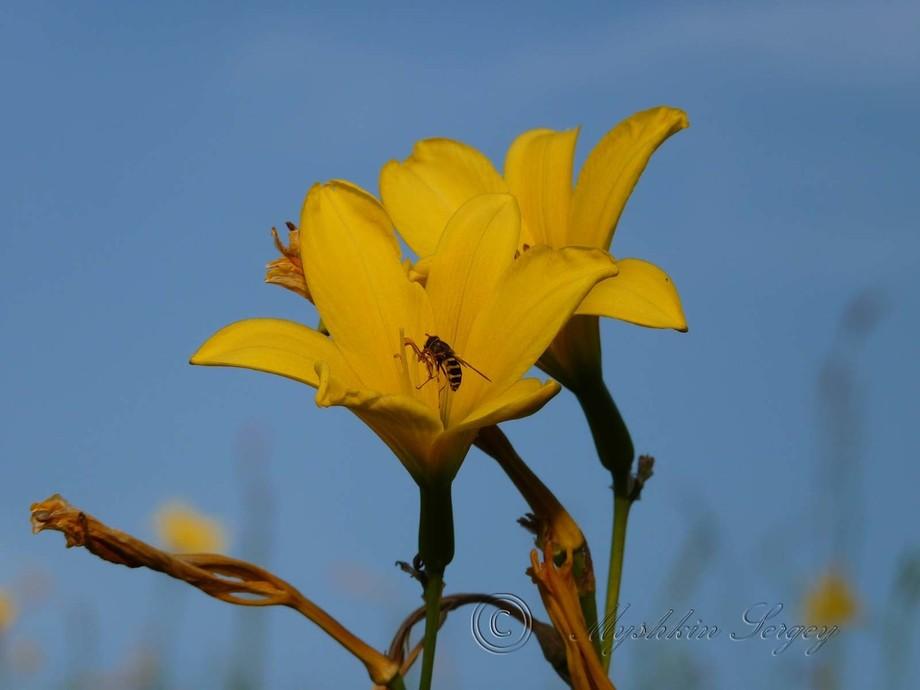 фото лилий,лето на дальнем востоке,амурская область.
