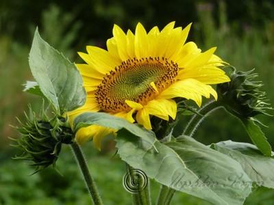 P1190136 расцветает подсолнух