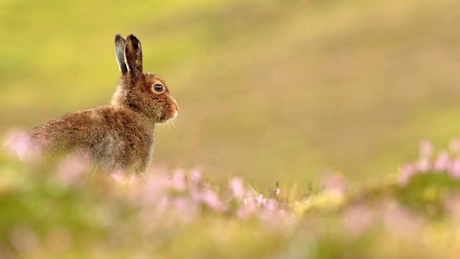 Mountain Hare in the Highlands in Scotland