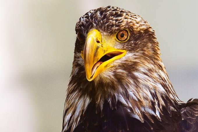 Golden Eagle by JADUPONT - Just Eagles Photo Contest
