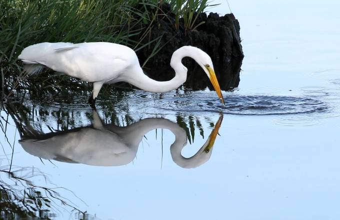 Great Egret feeding in Bayou Cane, Louisiana. No digital manipulation used. Canon Rebel T3 with Tamron 300mm lens.