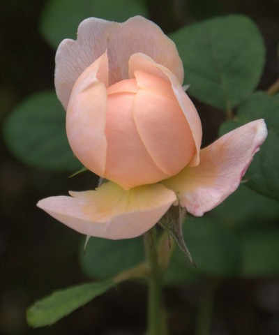 An Imperfect Rose