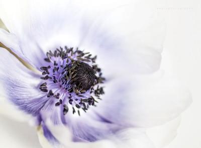 Poppy - A Study In Purple