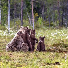 Brown bear family in Eastern Finland wilderness.