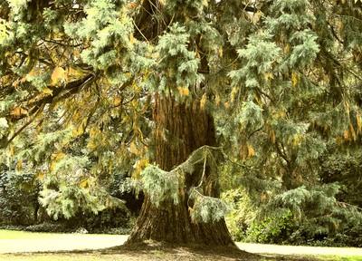 Old cedar