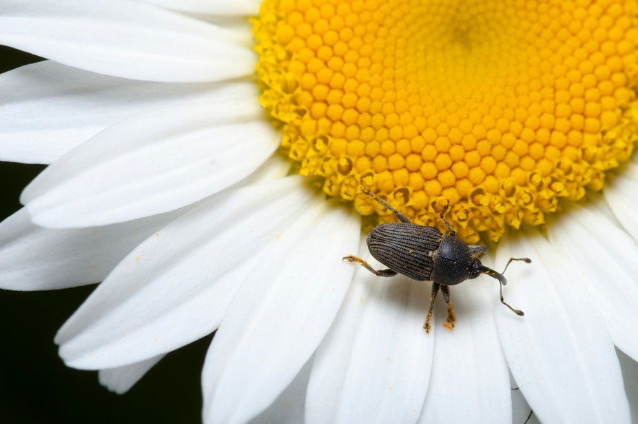 Daisy with a beetle.  Speedlight with DIY modifier