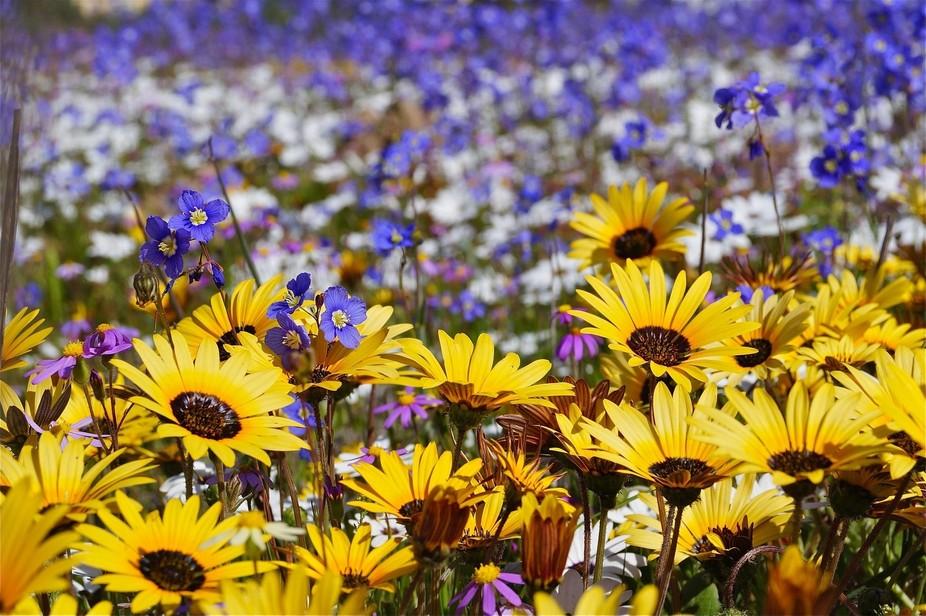 Spring flowers in Langebaan